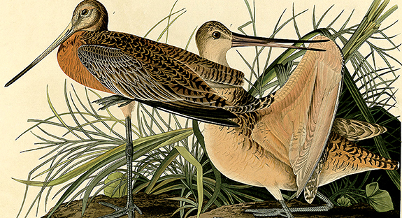 "While many admire the beauty of John James Audubon's prints from The Birds of America, the artist's graceful writing style is perhaps less well-known. ""As the tide rises it approaches the shores, and betakes itself to the wet savannahs,"" Audubon writes about the Great Marbled Godwit, pictured above. The print is on display in the Hillman Library's ground-floor Audubon Exhibit Case."