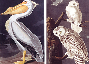 From left, American White Pelican and Snowy Owl