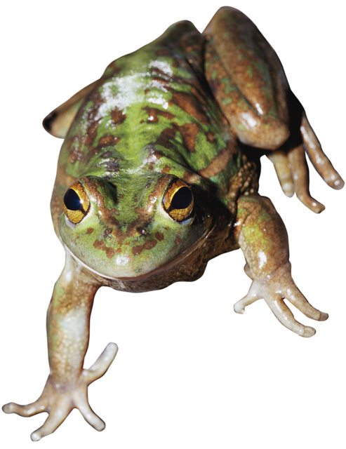 full-color-leopard-frog.jpg